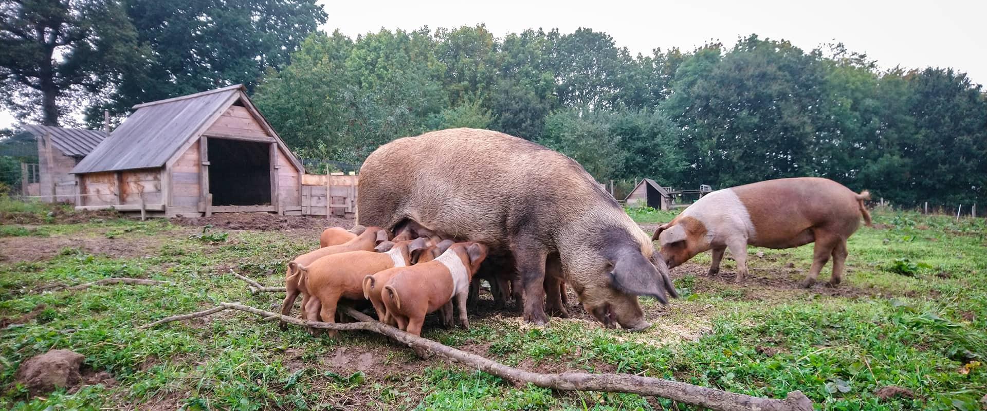Das Rotbunte Husumer Schwein – ein persönliches Rassenportrait